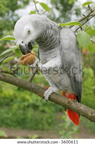 African grey parrot(Psittacus erithacus) sitting on a tree.