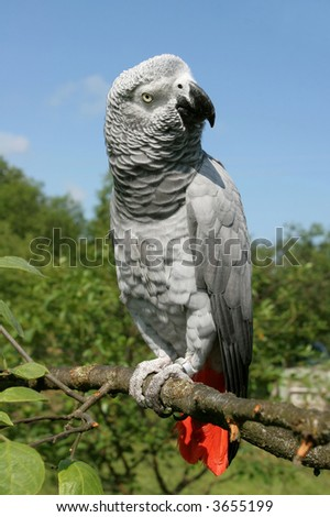 African grey parrot(Psittacus erithacus) sitting on a tree