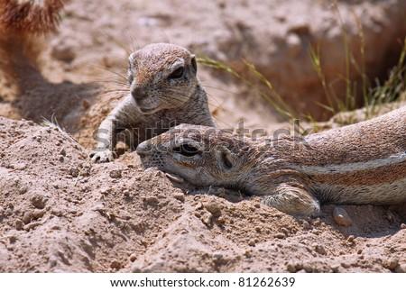 african ground squirrel, wildlife