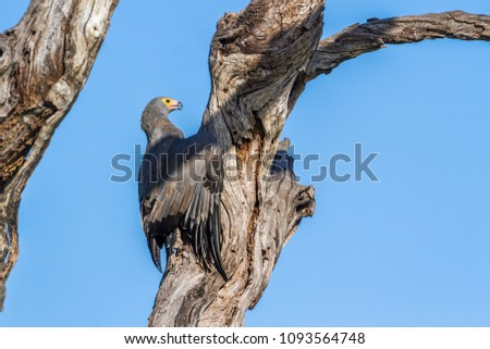 African harrier-hawk in Kruger national park, South Africa ; Specie Polyboroides typus family of Accipitridae #1093564748