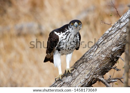 African Hawk Eagle Hieraaetus Spilogaster perching on a branch searching for prey