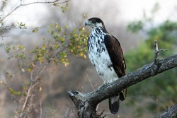 African Hawk-Eagle perched on a branch.