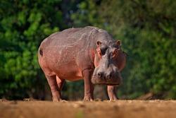 African Hippopotamus, Hippopotamus amphibius capensis, Mana Pools NP, Zimbabwe. Hippo with injury bloody scar in the skin. Dangerous big animal in the water. Wildlife scene from nature.