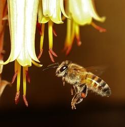 African honey bee in mid air.