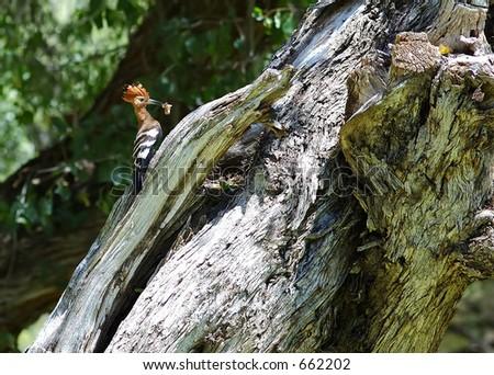 African Hoopoe - stock photo