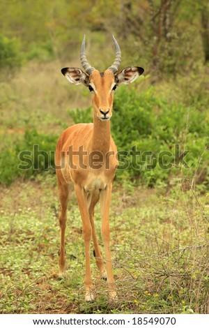 african impala antelope portrait in the kruger national. Black Bedroom Furniture Sets. Home Design Ideas