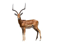 African impala safari animal facing forward. Extracted and isolated on white background