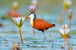 African jacana, Actophilornis africana, colorful african wader with long toes next to violet water lily in shallow water of seasonal lagoon, Botswana,Okavango delta. Bird with flower bloom.