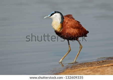 African Jacana (Actophilornis africana), Kruger National Park, South Africa