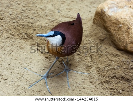 African jacana (Actophilornis africanus) standing in the sand.