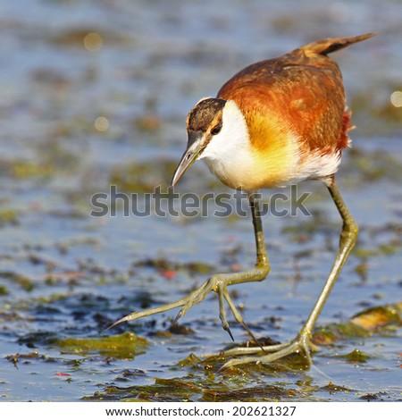 African jacana bird walks with big feet on water, South Africa