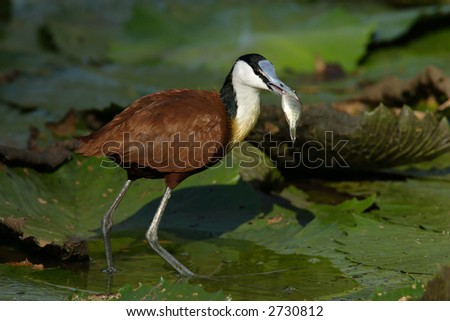 African Jacana eating a small fish; Actophilornis Africanus; South Africa