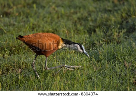 African jacana stalking in wetlands; Actophilornis africanus; South Africa
