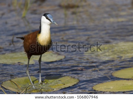 African Jacana walking on Lilly.