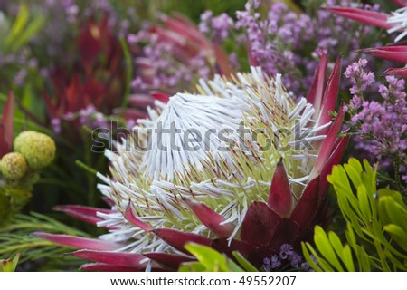 stock-photo-african-king-protea-flower-closeup-49552207.jpg