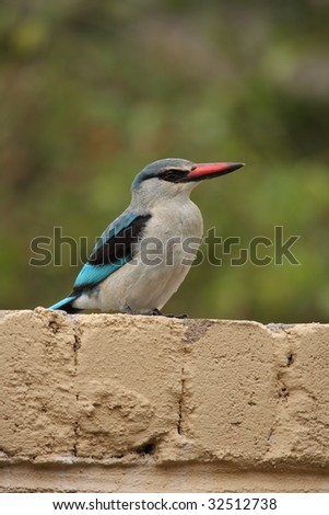 African Kingfisher Perched