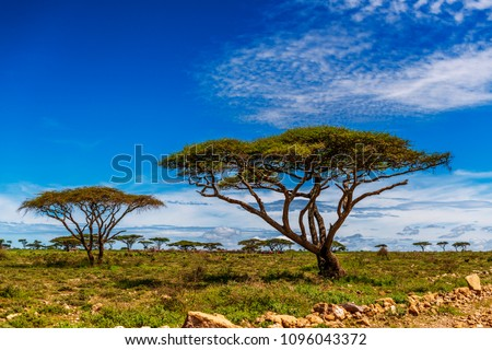 African landscape dotted with indigenous Umbrella Thorn Acacia trees, Ngorongoro Conservation Area. Never ending blue sky with wispy clouds. Copy space.