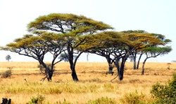 african landscape with a acacia trees