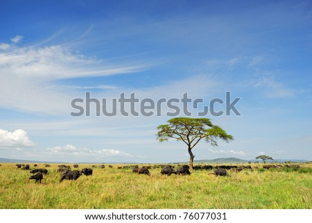 African landscape with a solitary umbrella acacia tree and Cape race buffalo herd, Serengeti, Tanzania