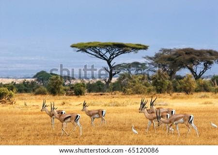 African landscape with gazelles, Amboseli, Kenya