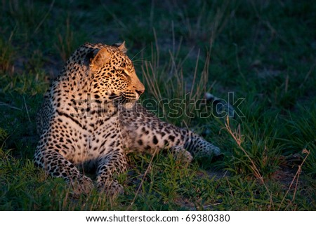 african leopard at dusk lying on green grass lighted with a spotlight in Sabi Sand nature reserve in South Africa