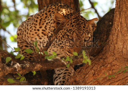 African leopard on a close up picture in its natural environment. A rare big cat species living in african savanna.