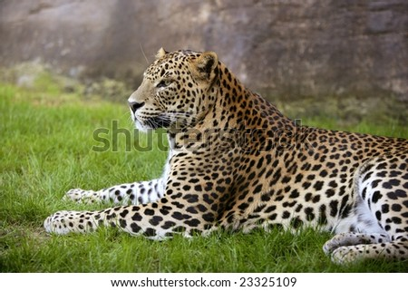 African leopard on resting over green grass