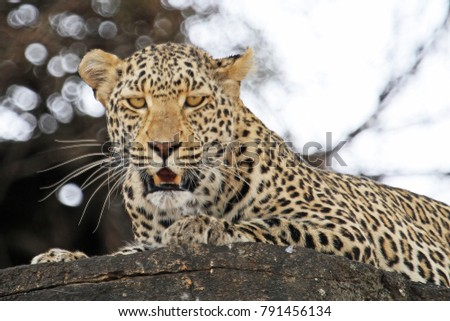 African leopard on rocks. #791456134