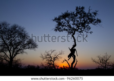 African Leopard (Panthera pardus) climbing down a tree at sunrise, South Africa