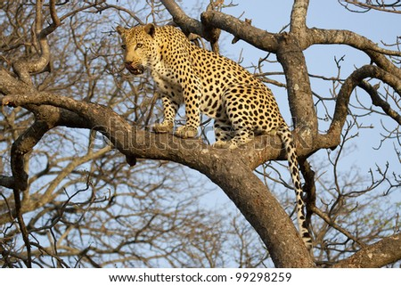 African Leopard (Panthera pardus) in tree, South Africa
