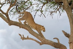 African Leopard (Panthera pardus) stretching on tree branch in acacia tree, Masai Mara, Kenya
