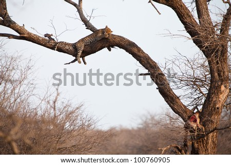 African leopard sleeping high in a tree
