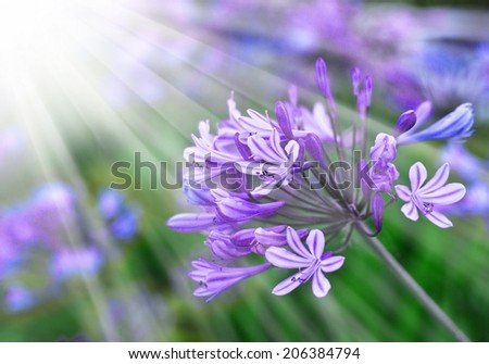African Lily, Blue flowers with sunshine. Floral background with blue flowers, spring flower, Retro summer background