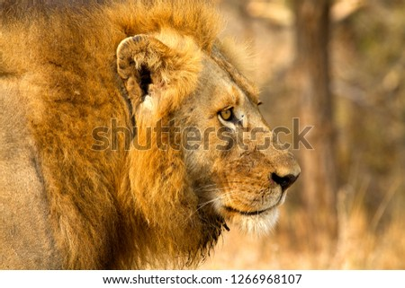 African Liom (Panthera leo) - Male, Kruger National Park, South Africa.