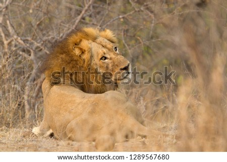 African Liom (Panthera leo), male, Kruger National Park, South Africa.