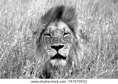 African Lion #747470932