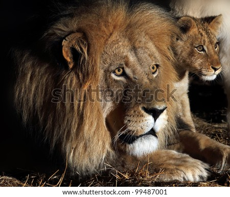 African lion and cub.Father and son. male lion and cub.