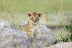 African lion cub in National park of Kenya, Africa
