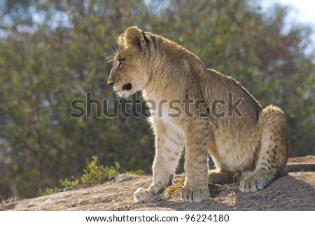 African Lion cub (Panthera leo), South Africa