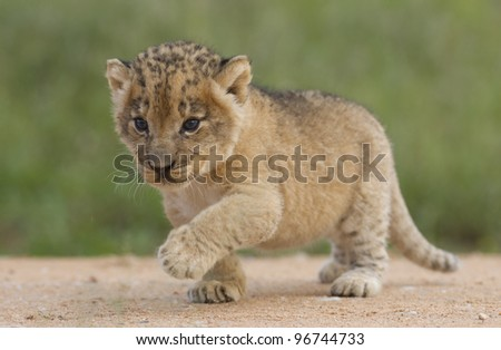 African Lion cub, (Panthera leo) South Africa, 4 weeks old - stock photo