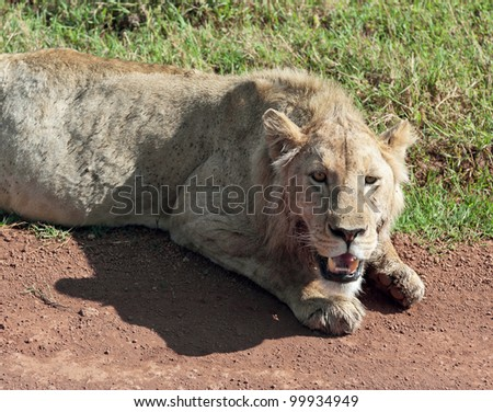 African lion in Crater Ngorongoro National Park - Tanzania