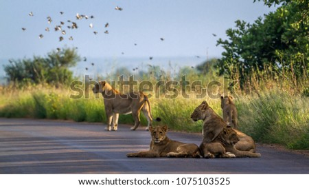 African lion in Kruger national park, South Africa ; Specie Panthera leo family of Felidae #1075103525