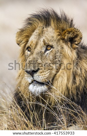 African lion in Kruger national park, South Africa ; Specie panthera leo family of felidae #417553933