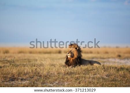 African Lion in Savanna