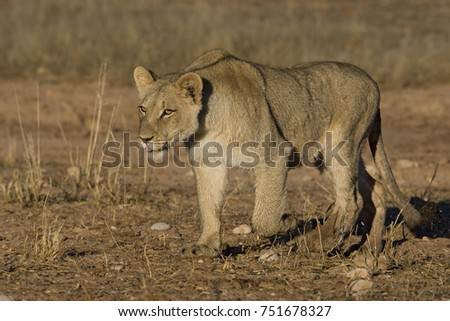 African Lion in the Bush and Game Reserves #751678327