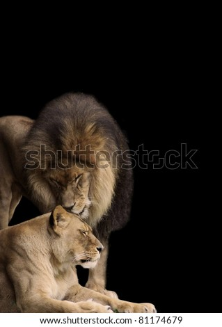 African Lion, King of the Jungle, having a tender moment with his lioness mate.  Strong males can be gentle when called for, and most females call for them to be so!  A great stationary / background.