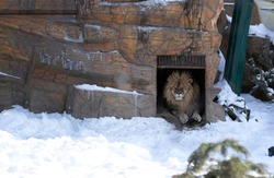 African lion lies at the entrance to his shelter at the zoo