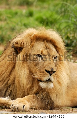 African lion male looks intently at something that attracted his attention