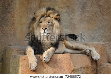 African lion (panthera leo) - stock photo