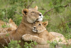 African Lion (Panthera leo). A tender image of a lioness and its young cub together in a loving embrace. Masai Mara, Kenya